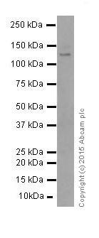 Western blot - Anti-iNOS antibody [EP16634] - BSA and Azide free (ab251367)