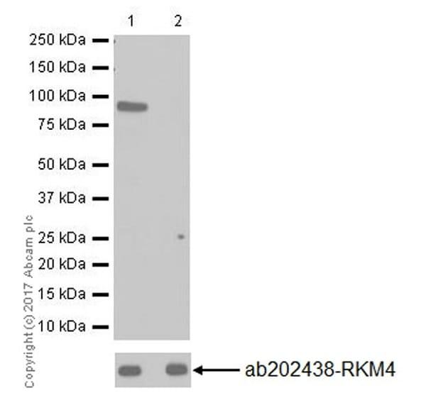 Western blot - Anti-SET3 antibody [EPR20101] - BSA and Azide free (ab251370)