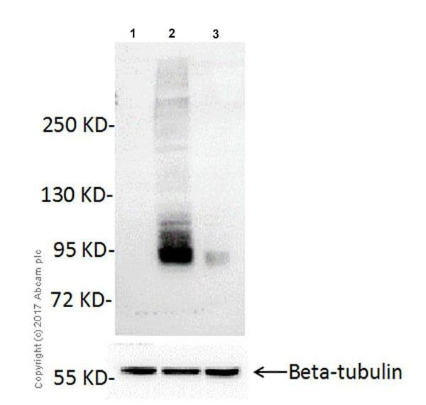 Western blot - Anti-CSC1 antibody [EPR19814] - BSA and Azide free (ab251395)