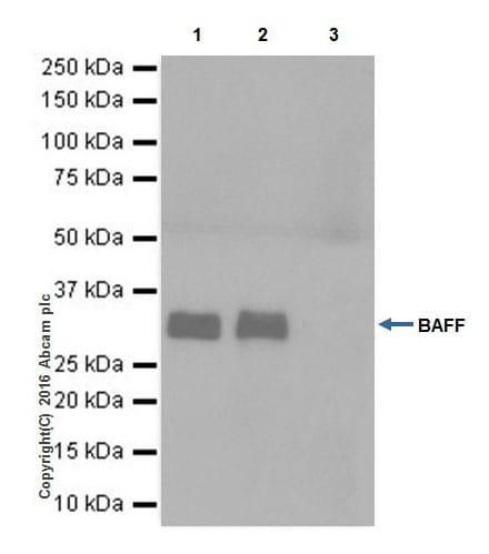 Immunoprecipitation - Anti-BAFF antibody [EPR19704] - BSA and Azide free (ab251400)
