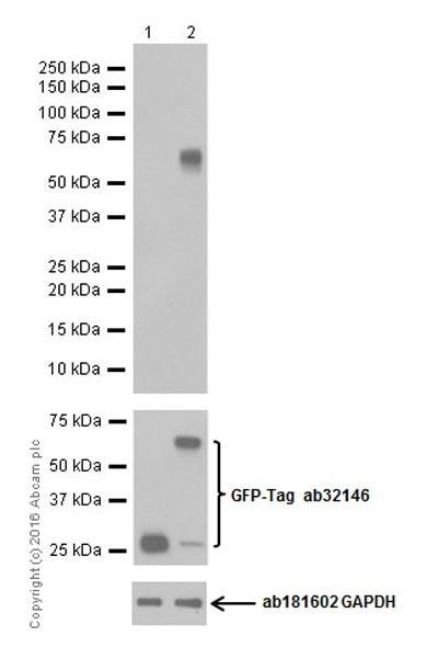 Western blot - Anti-BAFF antibody [EPR19704] - BSA and Azide free (ab251400)