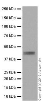 Western blot - Anti-Inhibin alpha antibody [EPR17083] - BSA and Azide free (ab251401)