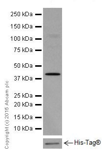 Western blot - Anti-ACTR1B + ACTR1A antibody [EPR16968(B)] - BSA and Azide free (ab251404)