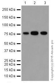 Western blot - Anti-ATHL1 antibody [EPR13421] - BSA and Azide free (ab251424)