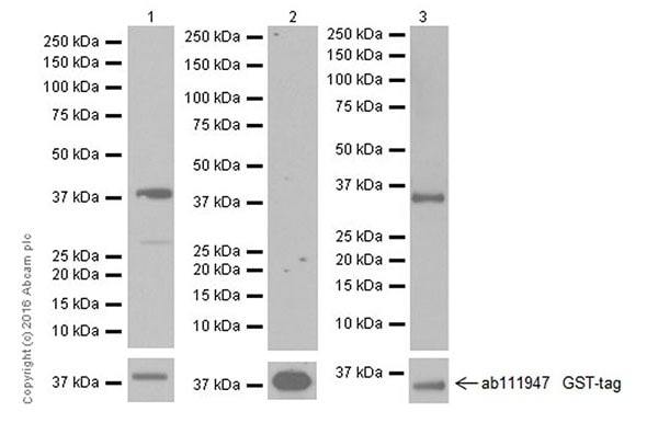 Western blot - Anti-TGF beta 1+TGF beta 3 antibody [EPR19867] - BSA and Azide free (ab251436)