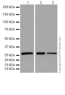 Western blot - Anti-14-3-3 eta/YWHAH antibody [EPR16750] - BSA and Azide free (ab251443)
