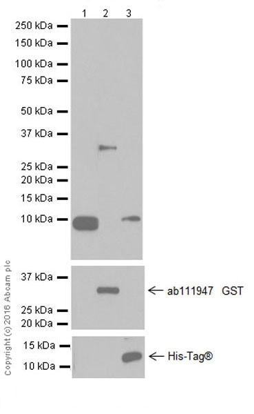 Western blot - Anti-CXCL1/GRO alpha antibody [EPR19892] - BSA and Azide free (ab251456)