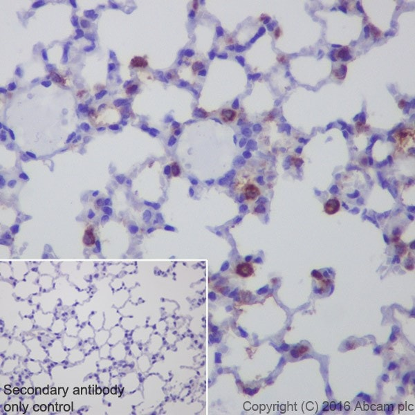 Immunohistochemistry (Formalin/PFA-fixed paraffin-embedded sections) - Anti-AMCase antibody [EPR19984] - BSA and Azide free (ab251465)