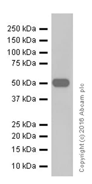 Western blot - Anti-AMCase antibody [EPR19984] - BSA and Azide free (ab251465)