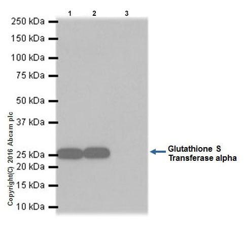 Immunoprecipitation - Anti-GSTA1 antibody [EPR19969] - BSA and Azide free (ab251473)
