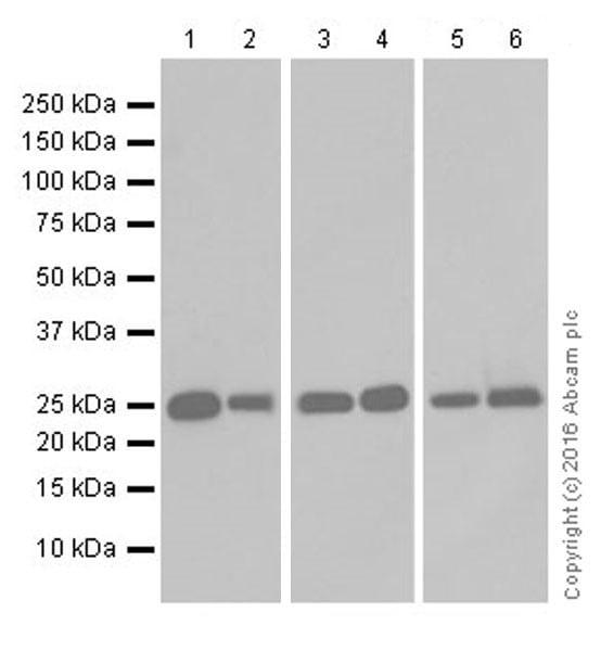 Western blot - Anti-GSTA1 antibody [EPR19969] - BSA and Azide free (ab251473)