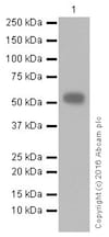 Western blot - Anti-CD4 antibody [EPR20122] - BSA and Azide free (ab251480)