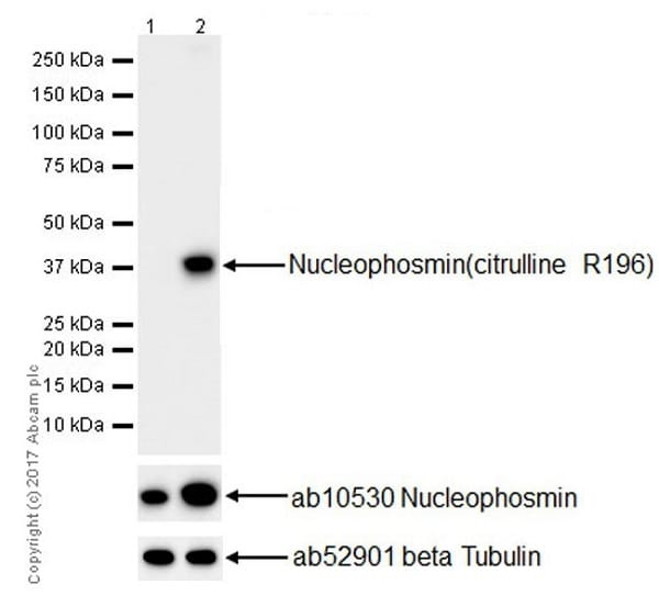 Western blot - Anti-Nucleophosmin (citrulline R196) antibody [EPR20172] - BSA and Azide free (ab251484)