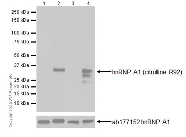 Western blot - Anti-hnRNP A1 (citrulline R92) antibody [EPR20174] - BSA and Azide free (ab251485)