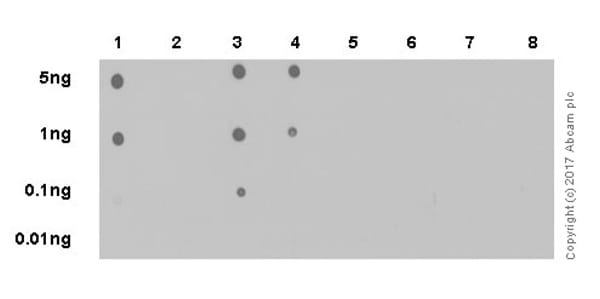 Dot Blot - Anti-hnRNP A1 (citrulline R88 + R92) antibody [EPR20175] - BSA and Azide free (ab251486)