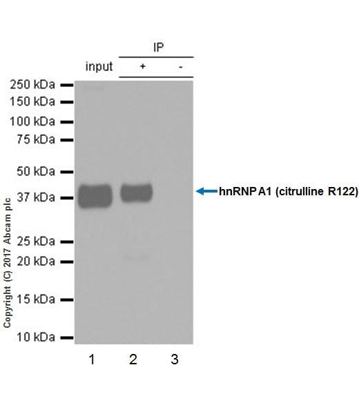 Immunoprecipitation - Anti-hnRNP A1 (citrulline R122) antibody [EPR20177] - BSA and Azide free (ab251487)