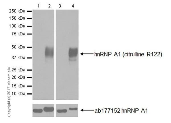 Western blot - Anti-hnRNP A1 (citrulline R122) antibody [EPR20177] - BSA and Azide free (ab251487)