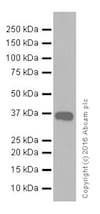 Western blot - Anti-E3 ubiquitin-protein ligase MUL1 antibody [EPR20241] - BSA and Azide free (ab251503)