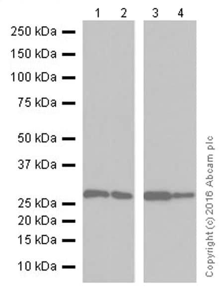 Western blot - Anti-Galectin 3 antibody [EPR19244] - BSA and Azide free (ab251504)