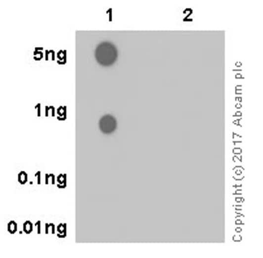 Dot Blot - Anti-Aurora B (phospho S227) antibody [EPR20389] - BSA and Azide free (ab251522)