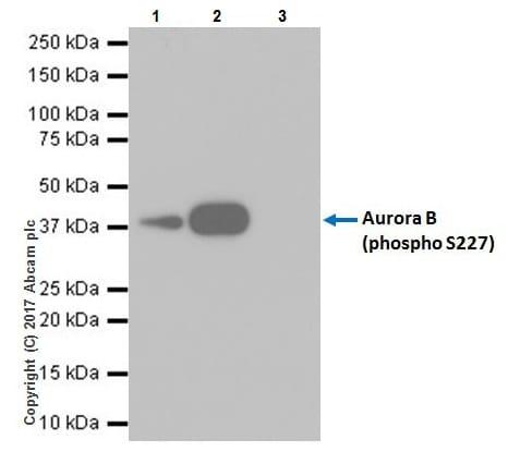 Immunoprecipitation - Anti-Aurora B (phospho S227) antibody [EPR20389] - BSA and Azide free (ab251522)