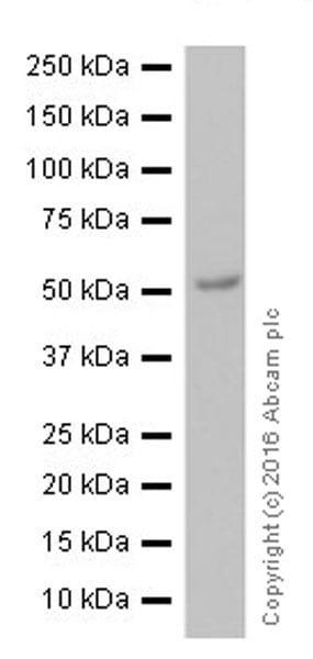 Western blot - Anti-Tubulin antibody [EPR13796] - BSA and Azide free (ab251523)
