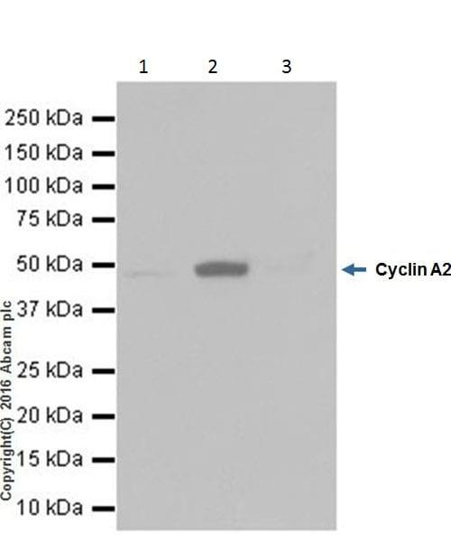 Immunoprecipitation - Anti-Cyclin A2 antibody [EPRR19346-64] - BSA and Azide free (ab251532)