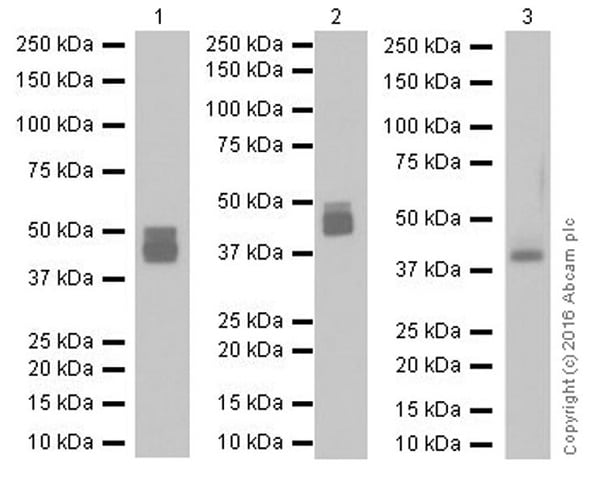 Western blot - Anti-Factor D/CFD antibody [EPR17004-240] - BSA and Azide free (ab251541)