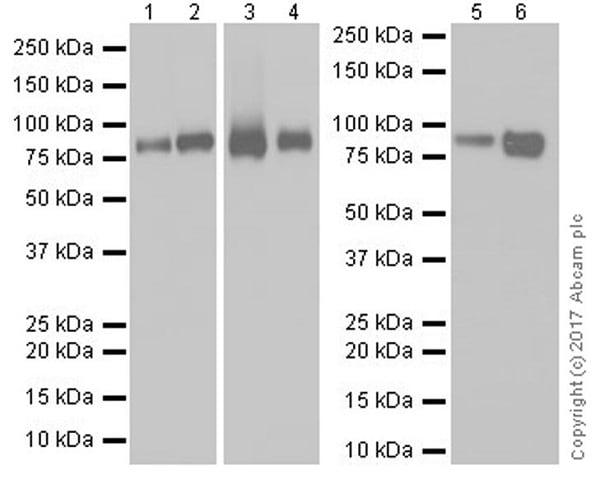 Western blot - Anti-NAGLU/NAG antibody [EPR20708] - BSA and Azide free (ab251547)