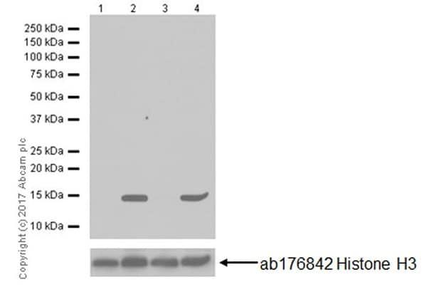 Western blot - Anti-Histone H3 (acetyl K64) antibody [EPR20713] - BSA and Azide free (ab251549)
