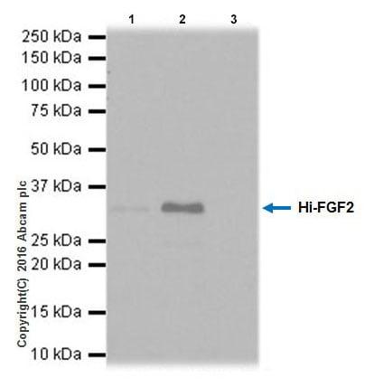 Immunoprecipitation - Anti-FGF2 antibody [EPR20145-227] - BSA and Azide free (ab251551)