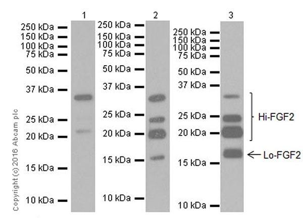 Western blot - Anti-FGF2 antibody [EPR20145-227] - BSA and Azide free (ab251551)