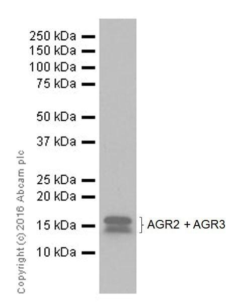 Western blot - Anti-AGR2 + AGR3 antibody [EPR20164-222] - BSA and Azide free (ab251553)