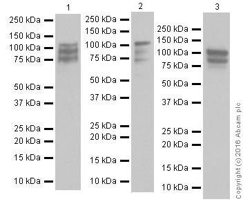 Western blot - Anti-STAT6 antibody [EPR18278-222] - BSA and Azide free (ab251555)