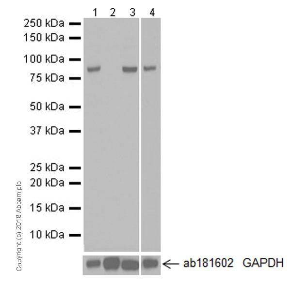 Western blot - Anti-MLH1 antibody [EPR20522] - BSA and Azide free (ab251576)
