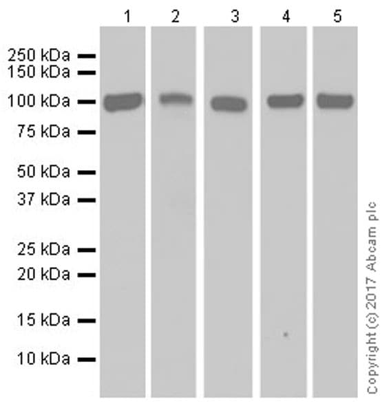 Western blot - Anti-ENT1 antibody [EPR20556] - BSA and Azide free (ab251581)