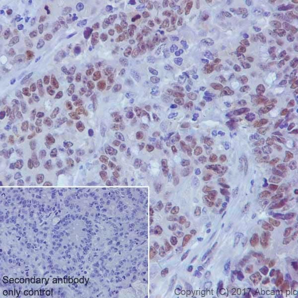 Immunohistochemistry (Formalin/PFA-fixed paraffin-embedded sections) - Anti-TCF3 / E2A antibody [EPR20682] - BSA and Azide free (ab251582)