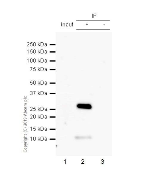 Immunoprecipitation - Anti-CD8 alpha antibody [CAL66] - BSA and Azide free (ab251596)