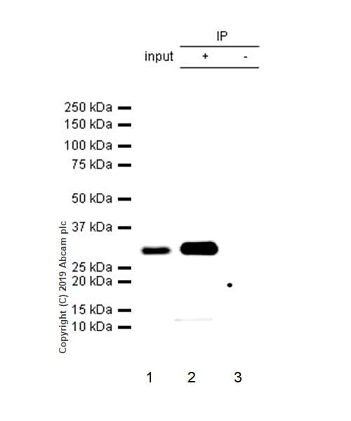 Immunoprecipitation - Anti-CD8 alpha antibody [CAL67] - BSA and Azide free (ab251597)