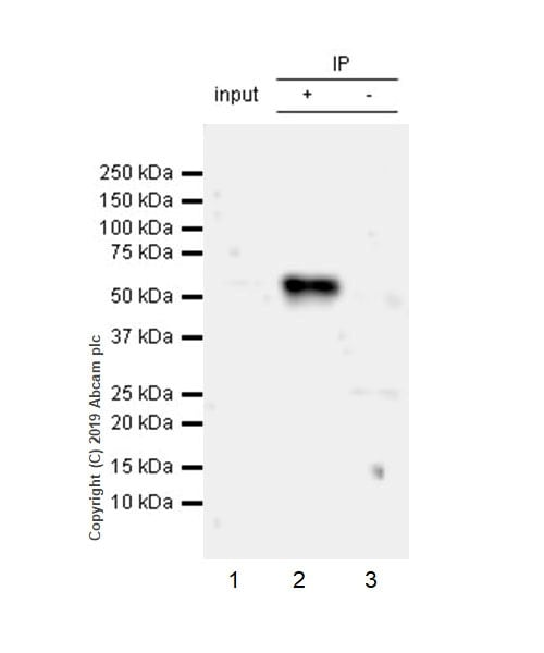Immunoprecipitation - Anti-GITR antibody [CAL52] - BSA and Azide free (ab251600)