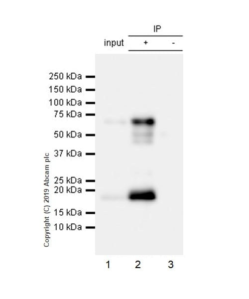 Immunoprecipitation - Anti-LAG-3 antibody [CAL26] - BSA and Azide free (ab251605)