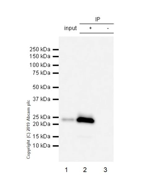 Immunoprecipitation - Anti-CD3 epsilon antibody [CAL57] - BSA and Azide free (ab251607)