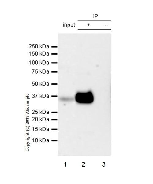 Immunoprecipitation - Anti-CD8 alpha antibody [CAL38] - BSA and Azide free (ab251609)