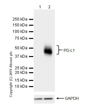 Western blot - Anti-PD-L1 antibody [CAL10] - BSA and Azide free (ab251611)