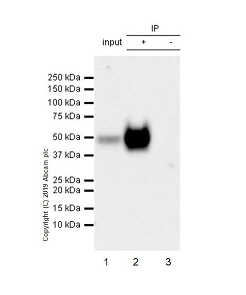 Immunoprecipitation - Anti-PD-L1 antibody [CAL10] - BSA and Azide free (ab251611)
