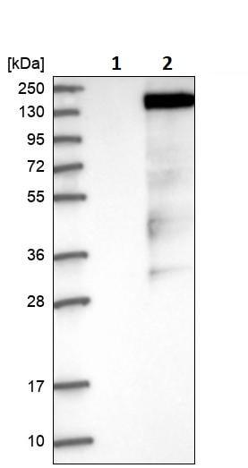 Western blot - Anti-GRF2 antibody (ab251683)