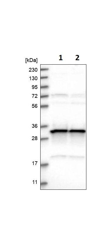 Western blot - Anti-MRPL45 antibody (ab251748)