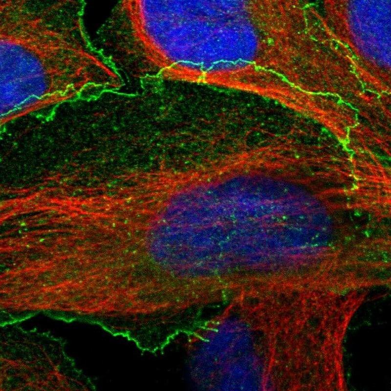 Immunocytochemistry/ Immunofluorescence - Anti-BAIAP2L1/IRTKS antibody (ab251753)