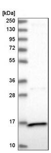 Western blot - Anti-PPIL3 antibody (ab251870)