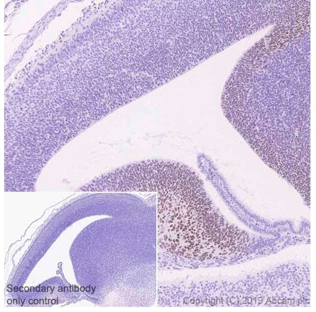 Immunohistochemistry (Formalin/PFA-fixed paraffin-embedded sections) - Anti-ZBTB20 antibody [4A3] - BSA and Azide free (ab252244)